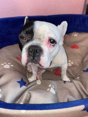 Französische Bulldogge fast 3 Jahre