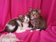 Wunderschön Maine coon kitten