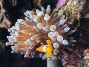 anemone koralle