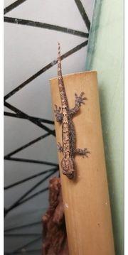 Lepidodactylus lugubris - Jungferngecko NZ 2020