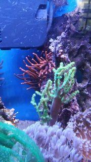 Meerwasser Korallen Anemonen