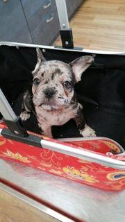 Französische Bulldogge Tricolor