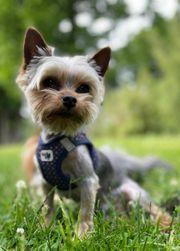 Yorkshire Terrier Mini Deckrüden Kein