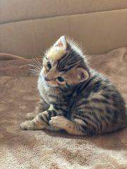 Drei Zuckersüße Bengal Kitten