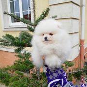 Kleine Pomeranian Zwergspitz Welpen bxjnsbh