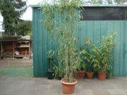 Bambus winterhart im Topf