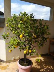 Zitronenbaum mit Früchten und Blüten