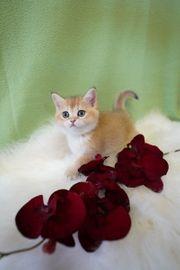 BKH Kitten mit Stammbaum Goldfarben