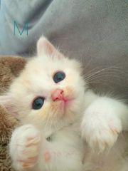 Kitten - Mainecoon Heilige Birma Edelmix