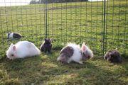 Teddyzwerge und Löwenköpfchen Kaninchen Kinder