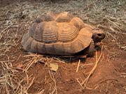 Maurische Landschildkröte weiblich 2004