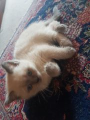 BKH-Kitten Blue-Point 11 Wochen Kitty