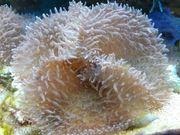 Rhodactis Scheibenanemonen Ableger Anemone Meerwasser