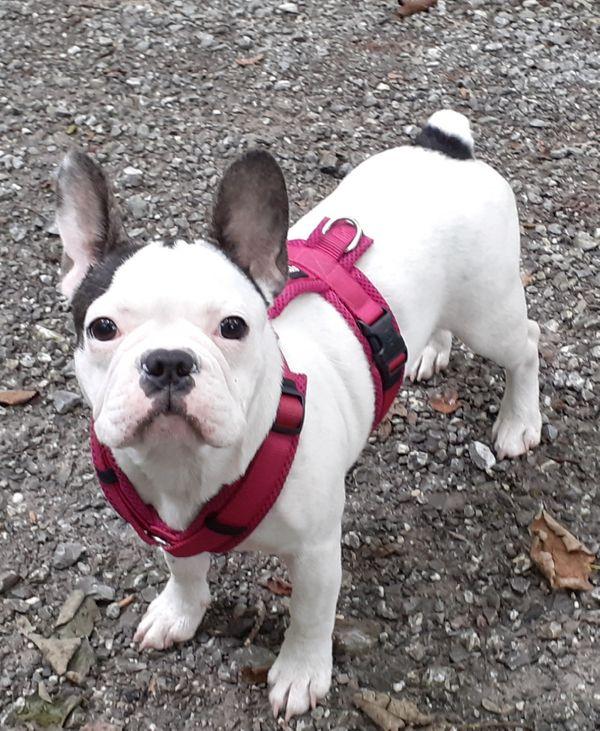 Französische Bulldogge weiblich 20 Wochen jung, geimpft, Chip usw.