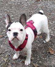 Französische Bulldogge weiblich 16 Wochen