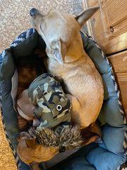 Chihuahua Mix sucht seines gleichen