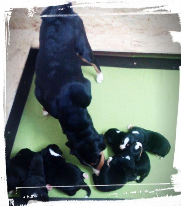 Wurfankündigung Appenzeller Sennenhund