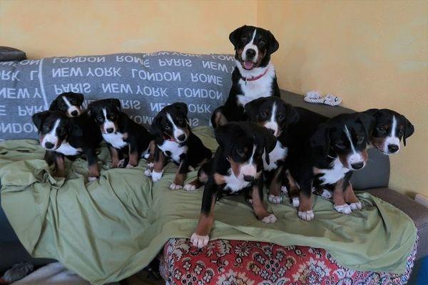 Appenzeller Sennenhund - Welpen