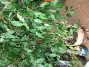 Ficus Benjamin groß