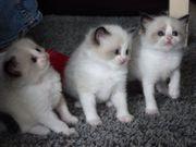 Süße Ragdoll Kätzchen mit Stammbaum