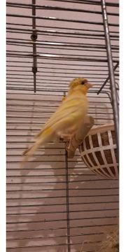 Ein Pärchen kanarienvögel