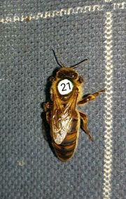 Verkaufe begattete Carnica Bienen Königinen