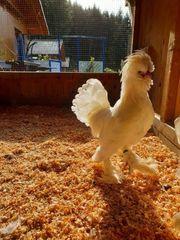 Sultanhühner Hühner