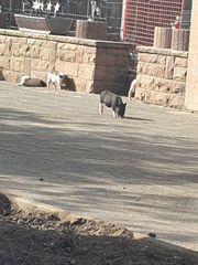 Minischweine suchen neuen Wirkungskreis