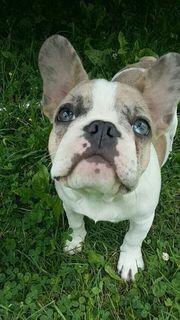 Wunderschönen Französische Bulldogge Welpen