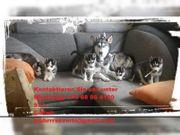 Schöne Siberian Husky Welpen zu