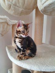 Bengal Kitten Kätzchen mit Stammbaum