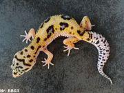 Leopardgecko 2019 Männchen und Weibchen