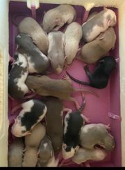 Ratten Babys in allerbeste Hände