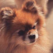 Pomeranian Deckrüde nicht zum Verkauf