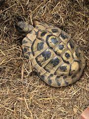 Griechische Landschildkröte männlich