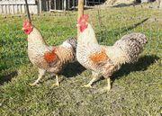 Hühner Bielefelder Zwerg-Kennhühner