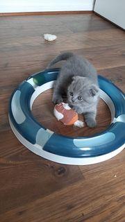 BKH Katzen Babys geimpft entwurmt