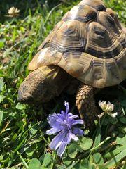 Griechische Landschildkröten von 2010 2012