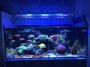 Korallen Ableger Zoanthus Meerwasser