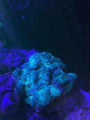 Scheibenanemonen Korallen Meerwasser