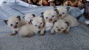 Süße Siam Kätzchen