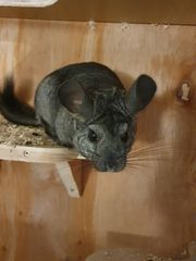 chinchilla Damen