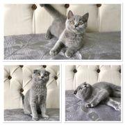 BKH Scottish Fold Kitten Blau
