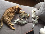Bengal Kitten silber Stammbaum TOP-