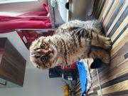 halbrassiges Scottish- Fold Kätzchen zu
