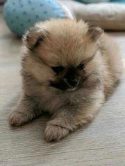 Zwergspitz Pomeranian Welpe In Feldkirchen Hunde Kaufen Verkaufen Auf Quoka De