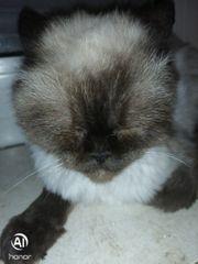 Verkaufe kleine Mini Perser Katze