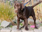 Familienfreundliche Schoko Labrador Welpen