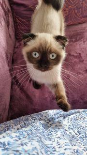 scottish fold BKH Babykatze Kater