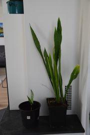 Bogenhanf Zimmerpflanze